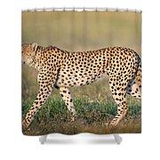 Cheetah Acinonyx Jubatus Walking Shower Curtain