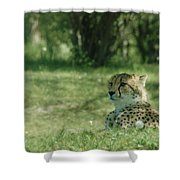 Cheetah At Attention Shower Curtain