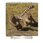 Cheetah Juveniles Playing Shower Curtain