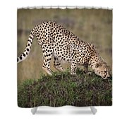 Cheetah On Termite Mound Shower Curtain