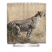 Cheetah Ready For The Off Shower Curtain
