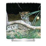 Cheetah Resting  Shower Curtain