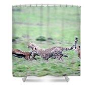 Cheetahs Acinonyx Jubatus Chasing Shower Curtain
