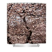 Cherry Blossom Trees In Potomac Park Shower Curtain