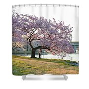 Cherry Blossoms 2013 - 003 Shower Curtain