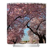 Cherry Blossoms 2013 - 024 Shower Curtain