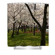 Cherry Blossoms 2013 - 057 Shower Curtain