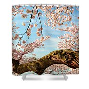 Cherry Blossoms 2013 - 089 Shower Curtain