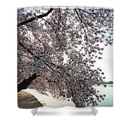 Cherry Blossoms 2013 - 092 Shower Curtain