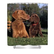 Chesapeake Bay Retrievers Shower Curtain
