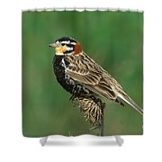 Chestnut-collared Longspur Shower Curtain