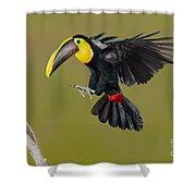 Chestnut-mandibled Toucan Landing Shower Curtain