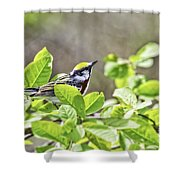 Chestnut Sided Warbler Shower Curtain