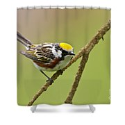 Chestnut-sided Warbler Pictures 49 Shower Curtain