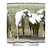 Cheviot Sheep 2 Shower Curtain