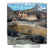 Chick Of King Penguin, Aptenodytes Shower Curtain