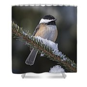 Chickadee On The Spruce Shower Curtain
