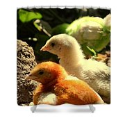 Cute Chicks Shower Curtain