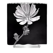 Chicory Wildflower Shower Curtain