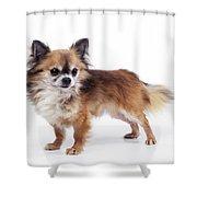 Chihuahua Dog Shower Curtain