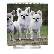 Chihuahua Dogs Shower Curtain