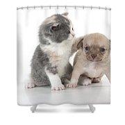 Chihuahua Puppy And British Shorthair Shower Curtain