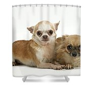 Chihuahua Puppy Dogs Shower Curtain
