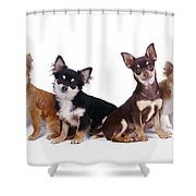 Chihuahuas Dogs Shower Curtain
