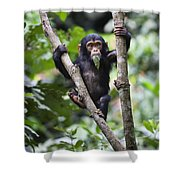 Chimpanzee Baby Eating A Leaf Tanzania Shower Curtain