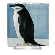 Chinstrap Penguin Shower Curtain