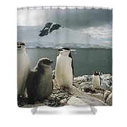 Chinstrap Penguins With Chick Paradise Shower Curtain