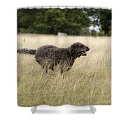 Chocolate Labradoodle Running In Field Shower Curtain