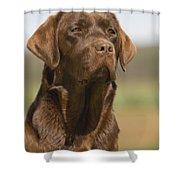 Chocolate Labrador Dog Shower Curtain