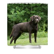 Chocolate Labrador Shower Curtain