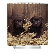Chocolate Labrador Puppies Shower Curtain