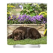 Chocolate Labrador Puppy Shower Curtain