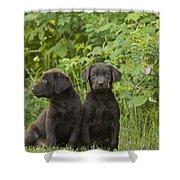 Chocolate Labrador Retriever Puppies Shower Curtain
