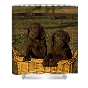 Chocolate Labrador Retriever Pups Shower Curtain