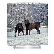 Chocolate Labrador Retrievers Shower Curtain