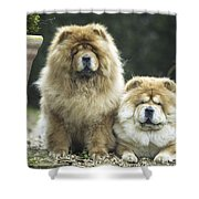 Chow Chow Dogs Shower Curtain