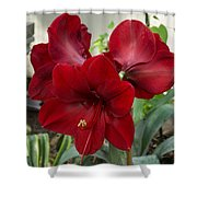 Christmas Red Amaryllis Flowers Shower Curtain