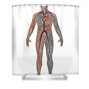 Circulatory System In Male Anatomy Shower Curtain