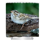 Clay-colored Sparrow Spizella Pallida Shower Curtain