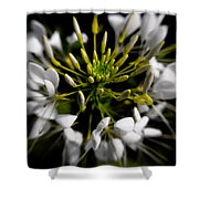Cleome In Bloom Shower Curtain