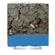 Cliff Swallows At Nests Shower Curtain