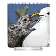 Close Up Of A Mew Gull With Two Hungry Shower Curtain