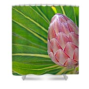 Close Up Of A Protea In Bud Shower Curtain