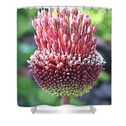 Close Up Of An Ornamental Onion Or Drumstick Allium  Shower Curtain