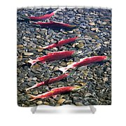Close-up Of Fish In Water, Sockeye Shower Curtain
