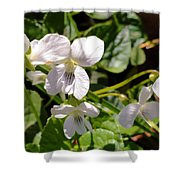 Close-up Of White Violets  Shower Curtain